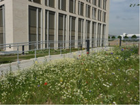 Wildflower meadow in front of the new building in Bonn, Photo: Christel Bock